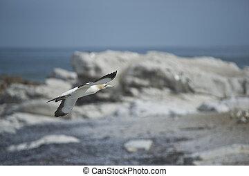 földfok gannet, repülés
