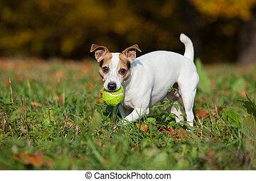 förbluffande, knekt russell terrier, spring, in, höst