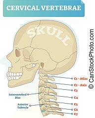 föregående, c3, kranium, intervertebral, intrig, tuberkel, diagram., vektor, c6, c4, vertebra., skiva, cervical, c2, axel, ryggkotor, c1, c5, c7, atlas, illustration.