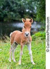 føl, mini, hest, falabella
