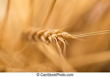 fül, közül, wheat., makro