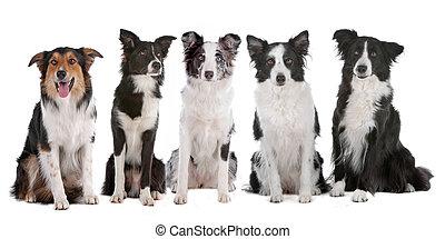 fünf, collie, umrandungen, hunden