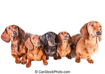fünf, dachshund, hunden, sitzen, auf, freigestellt, weißes