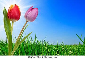 fű, és, gyönyörű, tulipánok