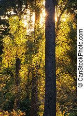 F, vibrante, árvores, Outono, impressionante, através,  sunburst, paisagem