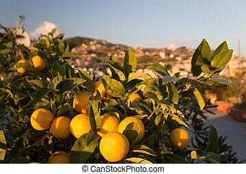 fa, érett, narancsfák