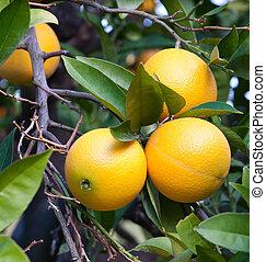 fa, narancsfák