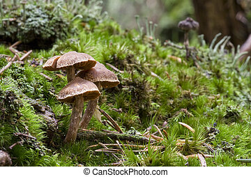 Fable Mushrooms - Fable mushroom in moss.