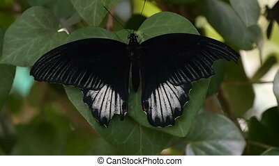 Fabulous black and white moth-butterfly is shot up down in a forest in summer