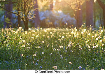 fabulous sunset in the forest of dandelions