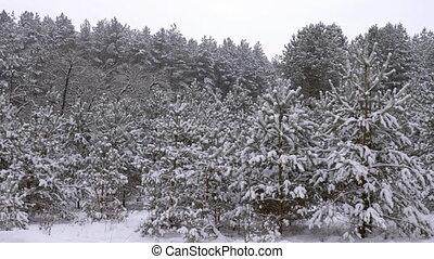 Fabulously beautiful winter coniferous forest