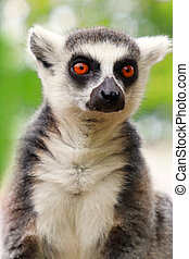 Face adult ring-tailed lemur