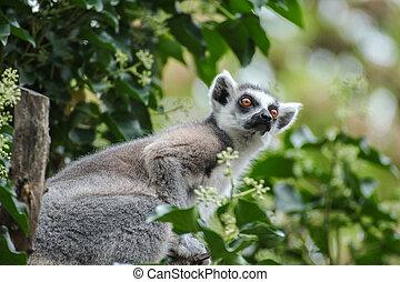 Face lemur catta in tree
