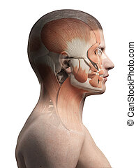 face muscles - medical illustration of the male facial...