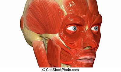 The facial muscles are a group of striated skeletal muscles innervated by the facial nerve (cranial nerve VII) that, among other things, control facial expression. These muscles are also called mimetic muscles.