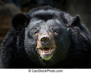 Asian black bear.
