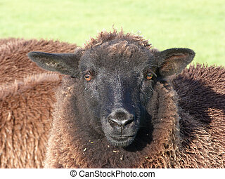 Face of a Black Sheep
