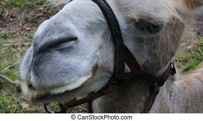 face of a camel. one animal in harness closeup