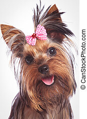 face of a cute yorkshire terrier baby dog looking happy