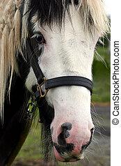 Face of a Gypsy Cob Horse