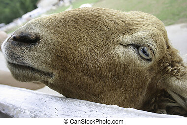 Face of a sheep in a cage