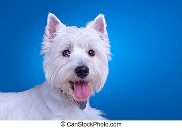 face of a westie - face of a west highland terrier against a...