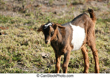 Face of a Young Goat