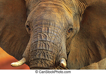 Face of African Elephant