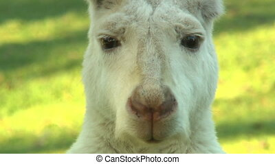 Face Of Albino Kangaroo - Handheld, close up shot of the...