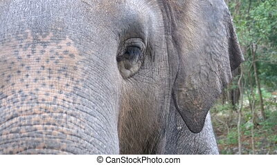Face of an elephant. The eye blinks, the texture of the...