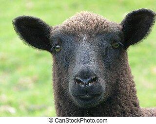 Face of cute black lamb