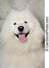 Face of happy samoyed dog