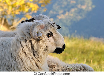 face of horned white ram