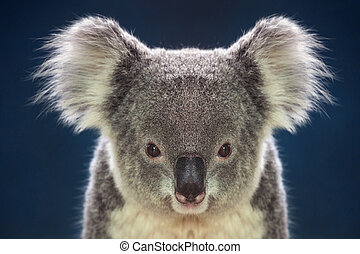Face of koalas.