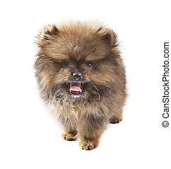 face of Pomeranian puppy on white
