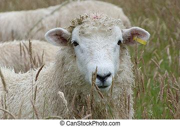 Face of Romney Lamb in a meadow