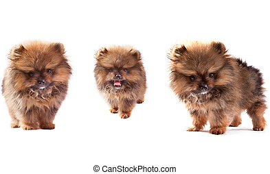 face of three lovely pomeranian dog puppies standing and looking