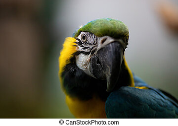 Face portrait of an adult yellow and blue macaw