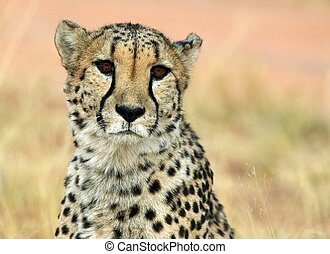 Face-to-face cheetah - Face-to-face with a cheetah.