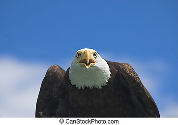 Face to face with screaming bald eagle