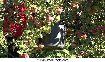 Faceless garden workers pick harvest apples in orchard fruit plantation.