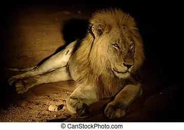 facilité, mâle, obscurité, lion, nuit