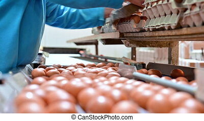 Factory Chicken egg production. Worker sort chicken eggs on conveyor. Agribusiness company. High quality 4k footage