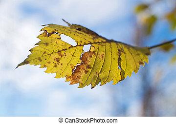 Faded alder leaf. Autumn alder against the blue sky.
