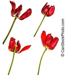 Faded buds of red tulips. Isolated on white. Set