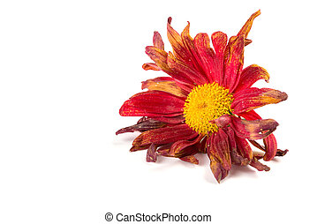 faded chrysanthemum flower on white background