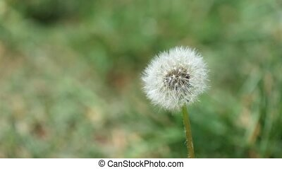 Faded dandelion trembles in the wind (Taraxacum officinale)