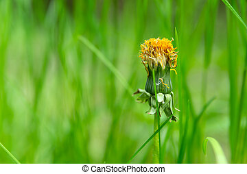 Faded flower of a dandelion against a background of green grass