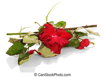 Faded red bud roses, leaves and broken stem isolated on white.
