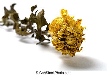 faded yellow chrysanthemum flower on white background